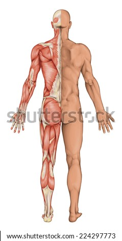male anatomy muscular system front side stock illustration, Muscles