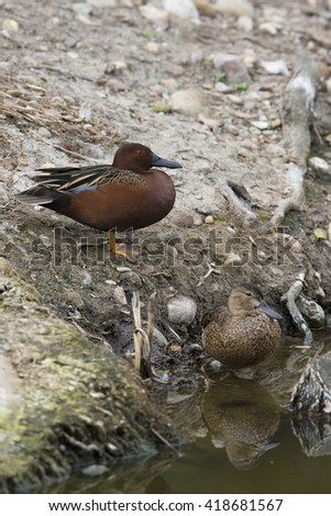 Male and female Cinnamon Teal with reflection