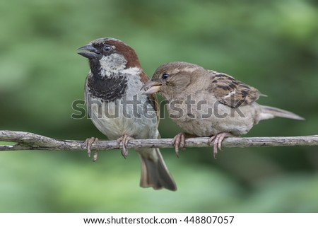 Male and female house sparrows perched on a branch