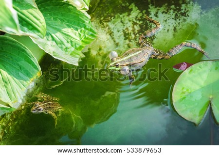 Male and female marsh frog (Pelophylax ridibundus)