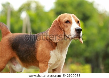 male Beagle dog lying down on floor, Purebred dog has a rest on floor