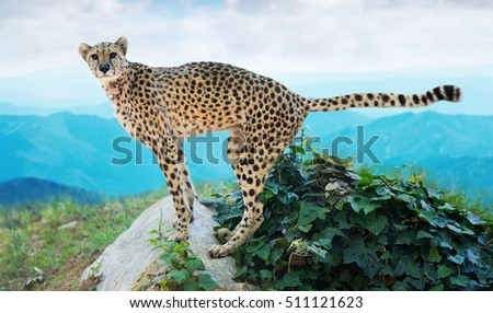 Male cheetah standing on stone at wildness area