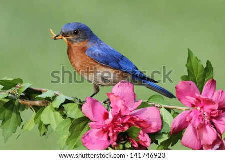 Male Eastern Bluebird (Sialia sialis) on a perch with flowers