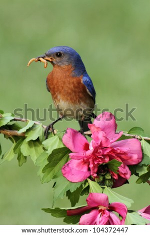 Male Eastern Bluebird (Sialia sialis) with flowers carrying worms