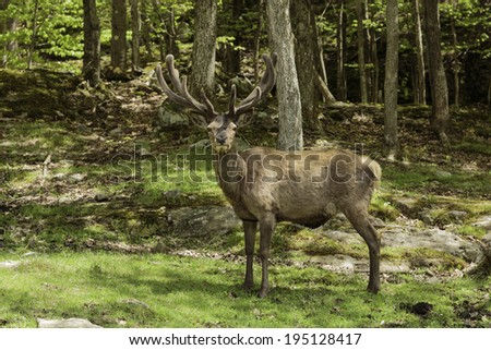 Male Elk in the Woods