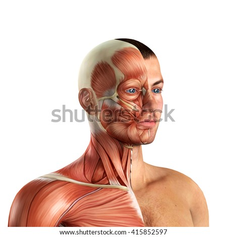 Male Face Muscles Anatomy 3d illustration