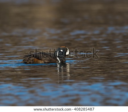Male Harlequin Duck Swimming