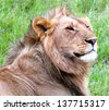 Male Lion looking Majestic in Masai Mara, Kenya - stock photo
