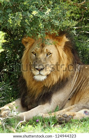 Male lion lying in shade of tree,one of Africa's Big Five