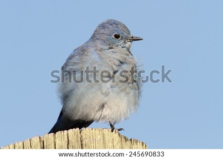 Male Mountain Bluebird (Sialia currucoides) on a post in Yellowstone National Park