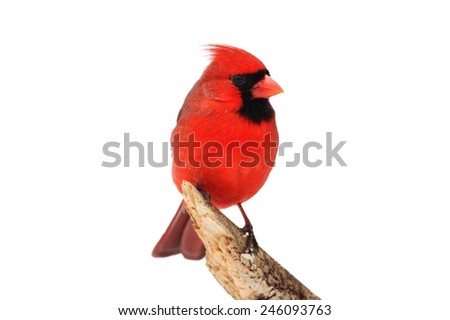 Male Northern Cardinal (Cardinalis) Isolated on a white background