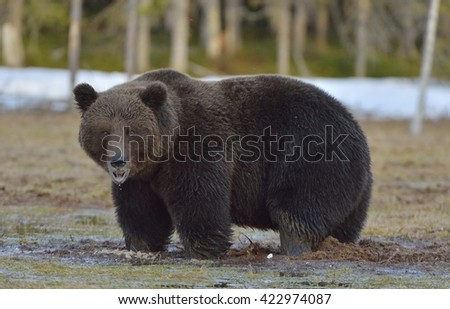 Male of Brown Bear (Ursus arctos) on the swamp in spring forest.
