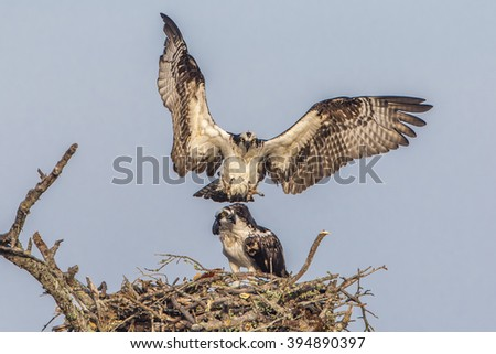 Male Osprey (Pandion haleaetus) flies in to join his mate at their nest - Florida