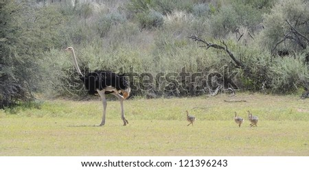 Male ostrich (Struthio camelus) and chicks in dune vegetation in the  Kalahari desert, Kgalagadi, South Africa