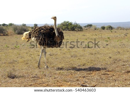 Male ostrich walking over short grass on a hot day.