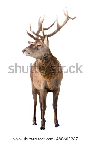 Male red deer isolated on white background