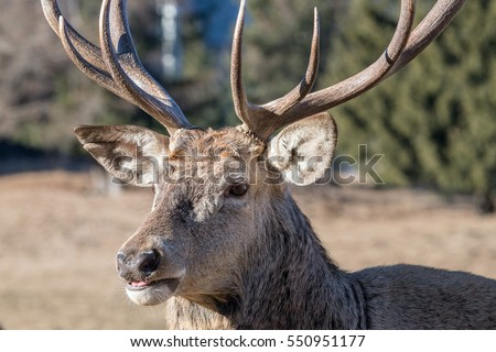 male red Deer portrait looking at you close up portrait
