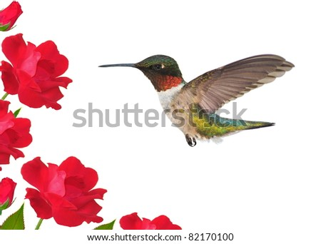 Male Ruby-throated Hummingbird (Archilochus colubris) at red roses.