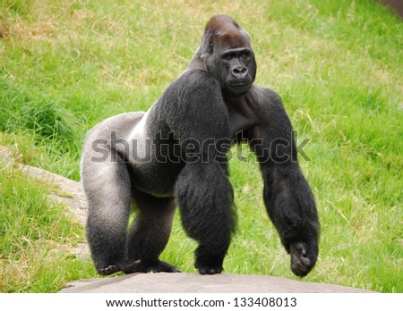 Male silverback gorilla at the zoo, displaying defensive behavior