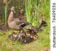 mallard female duck with ducklings - stock photo