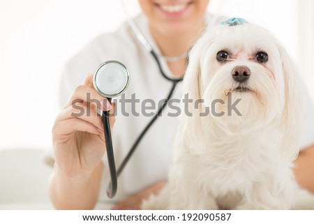 Maltese dog at the doctor's office