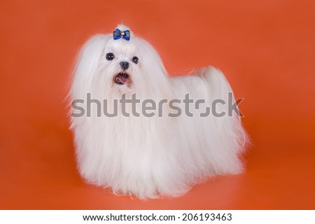 Maltese on a red background