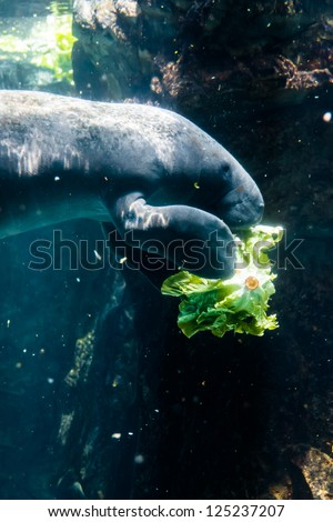 Manatee eating salad -