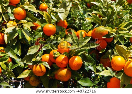 mandarin oranges on the tree with green leaves