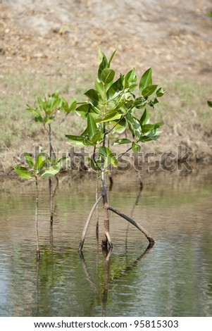 mangrove in mangrove forest
