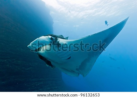 Manta on the coral reef