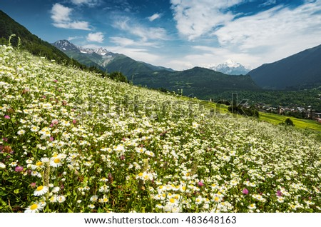 Many beautiful daisy flowers on a green hill in caucasian mountains. Georgia, Svaneti region, Mestia.