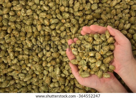 many dried hops for beer and brewery