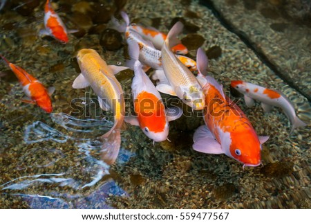 Koi fish swimming pond carp stock photo 600062384 for Artificial koi fish