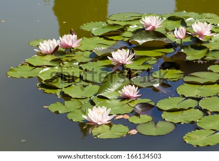 Many pink water lilies on water.