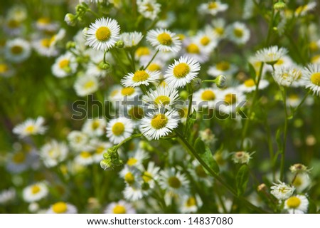detail daisy flower bellis perennis stock photo, Beautiful flower