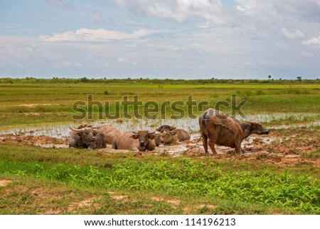 Many Water buffalos enjoying mud and water