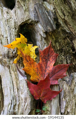 Maple Leaves Coloured from Autumn in yellow to red. Yellow, Red and Red-Orange coloured by the Autumn leaves over the wooden trunk. It is visible the leaves of ever-green wild flower.