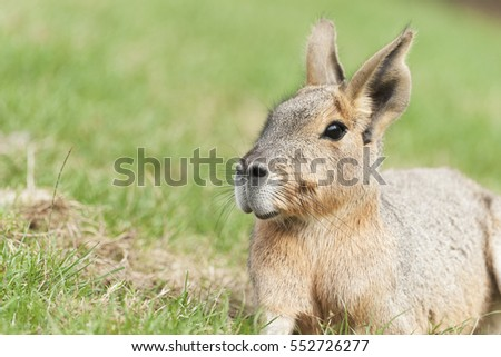 Mara are a large relative of the guinea pigs
