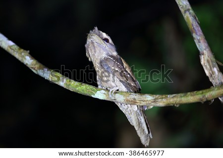 Marbled Frogmouth (Podargus ocellatus) in Papua New Guinea