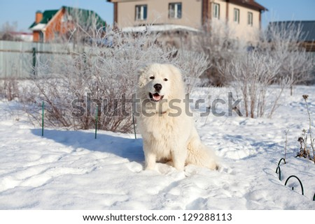 Maremma or Abruzzese patrol dog Portrait on the snow