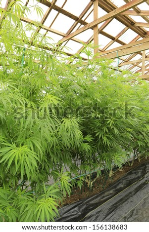 Marijuana ( cannabis), hemp plant growing inside of the green house in private garden of Washington State. Legal Medical marijuana law in US. Grower uses leaves to make juice for health support.