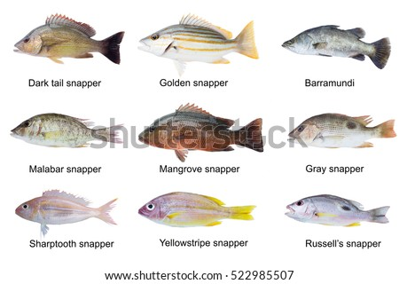 White cheek monocle bream scolopsis vosmeri also stock for Types of white fish to eat