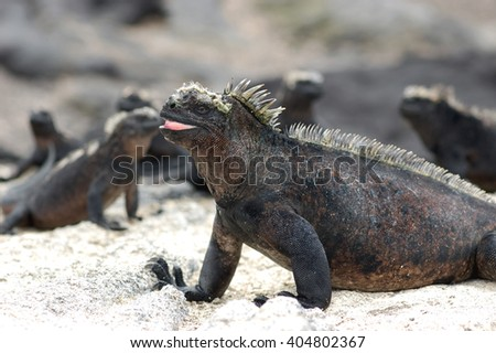marine iguanas warming in the sun, Galapagos
