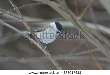 Marsh Tit ( parus palustris )