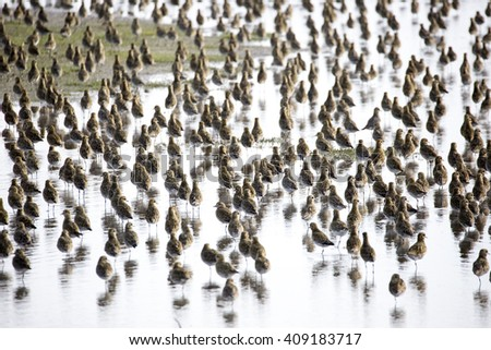 Massive flock of Golden Plover (Pluvialis apricaria) roosting in a shallow lagoon at a RSPB nature reserve in Norfolk, England