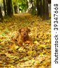 Mastiff from Bordeaux in autumn leaves. - stock photo