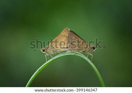 mating moth