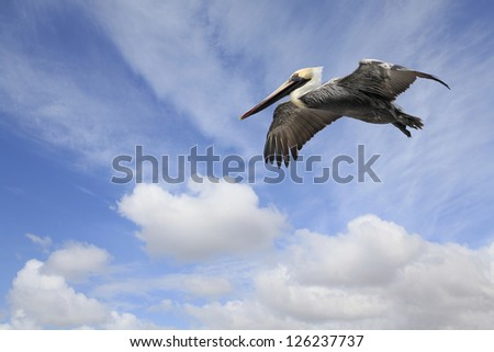 Mature Brown Pelican Flying in Beautiful Cloudy Sky