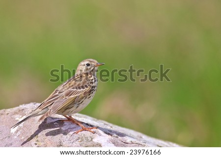 Meadow pipit resting on a rock.