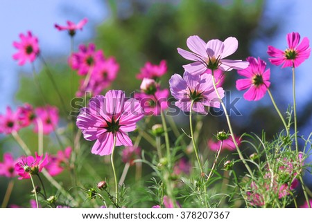 Meadow with cosmea
